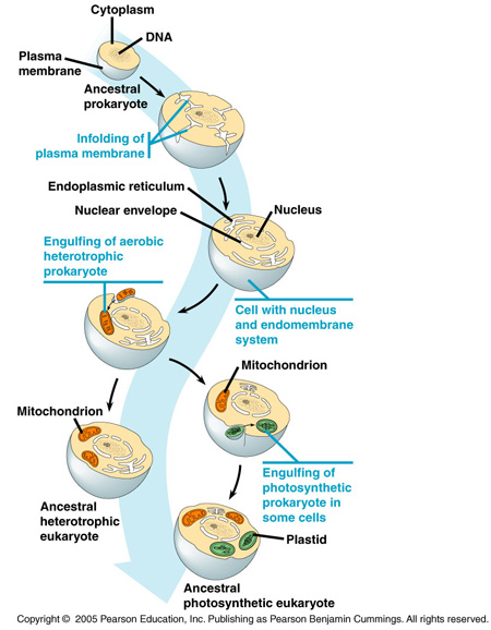 endosymbiosis hypothesis Animation - endosymbiosis textbook resources virtual labs chapter activities learning outcomes pre test post test flashcards animation - endosymbiosis.